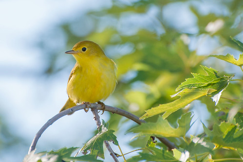 Yellow Warbler | by Jim McCree