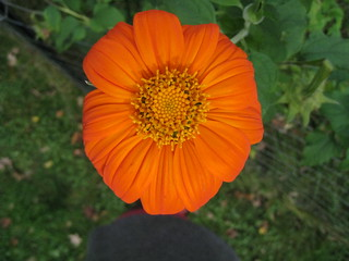 mexican sunflower | by boodely