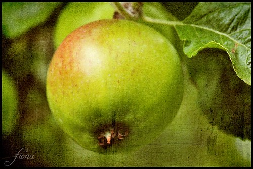 Hidcote Apple | by Miaowlicious