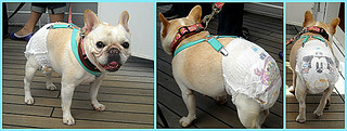 Japanese Pets - French bulldog | by Seb Ian