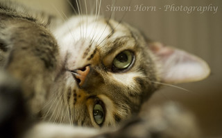 Bengal Cat - Female | by Simon - Blink of an Eye