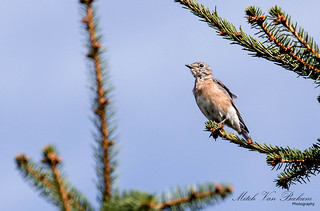 Out on a Limb - Eastern Bluebird | by Mitch Vanbeekum Photography
