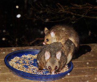 Bushtail possum mum and baby with Jazz watching 4 | by ixchelbunny