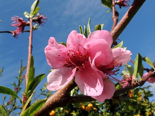 A nectarine flower in the sun beneath the blue blue sky | by PsJeremy - back and catching up...