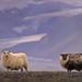 The Sheep of Vatnajökull #2