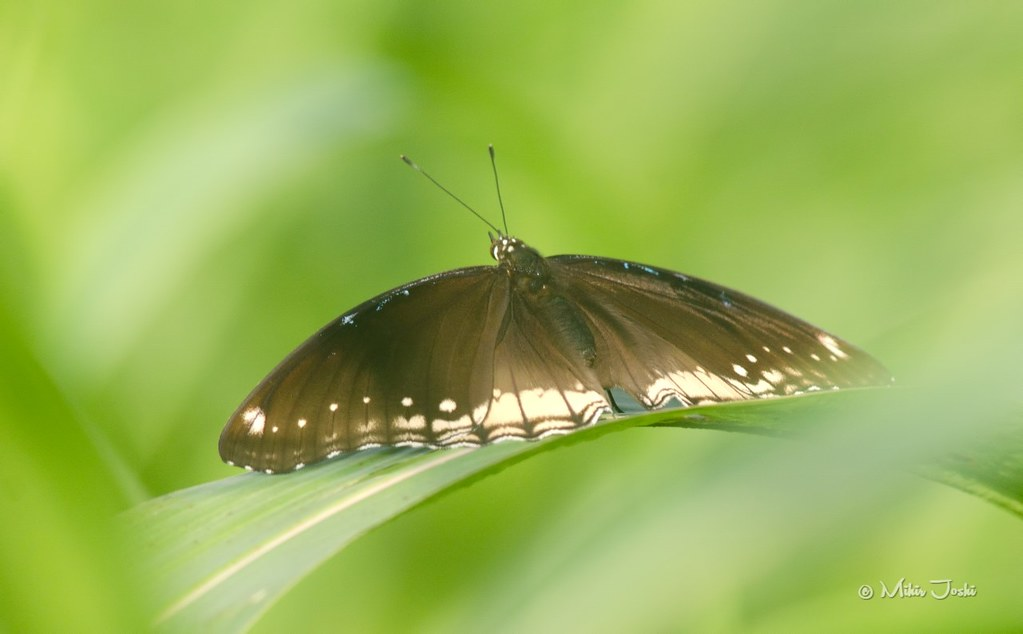 Great Eggfly female