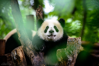 Not So Giant Panda | by Chris Rubey