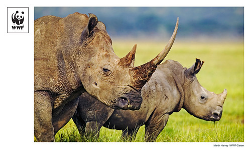 WWF-Canon Pic of the Week - Rhinos in crisis | by WWF - Global Photo Network