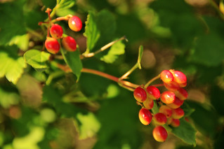 Little Red Berries | by LostMyHeadache: Absolutely Free *