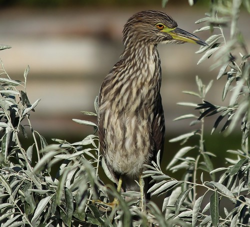 juvenile black crowned night heron | by Ducklover Bonnie