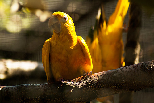 Yellow parrot | by KlaraCurda