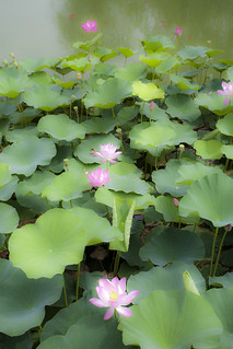 Lotus Flower | by Hank888