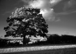 aberargie tree in evening sun infrared -9189558 | by E.........'s Diary