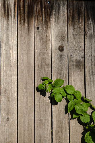 Raspberries and fence | by kightp