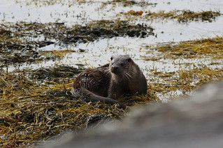 Otter on Loch Scridain | by Edd Cottell
