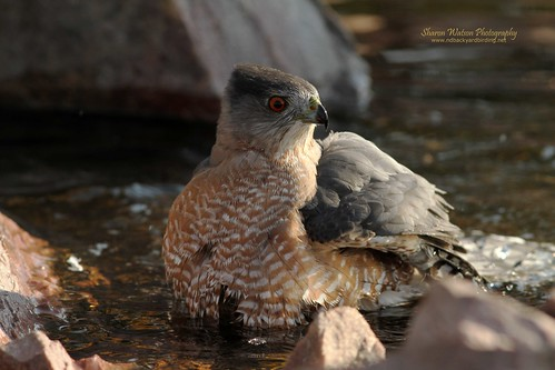 Cooper's Hawk (Accipiter cooperii) | by Sharon's Bird Photos