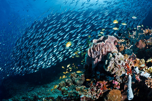 Coral gardens and sardines on Pescador