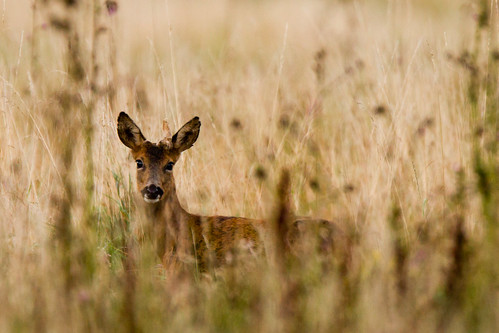 Roe deer buck with single deformed antler | by asbimages.co.uk