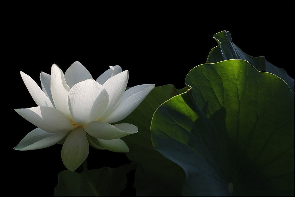 white lotus flower on black background dda  flickr, Beautiful flower