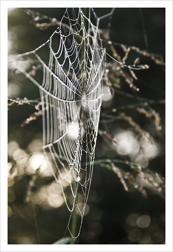 spider web and bokeh | by Angelrays