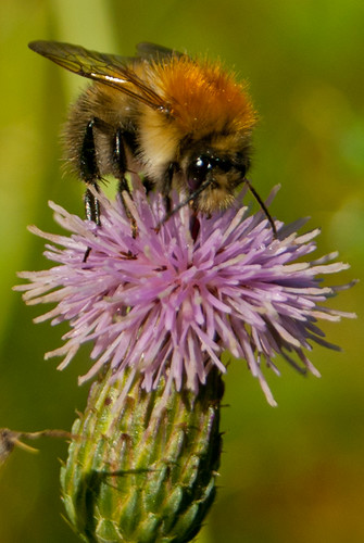 Bumble Bee on a Thistle | by hutchyp