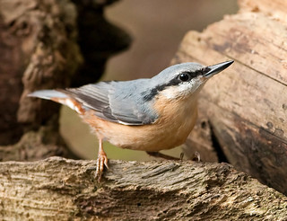 Nuthatch!! | by marsch1962