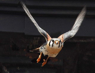 American Kestrel in Tompkins Square Park | by Bedford Bowery
