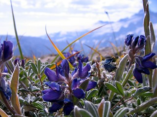 Alpine Lupine 2 | by e_grosh