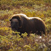 Muskox at Dovre