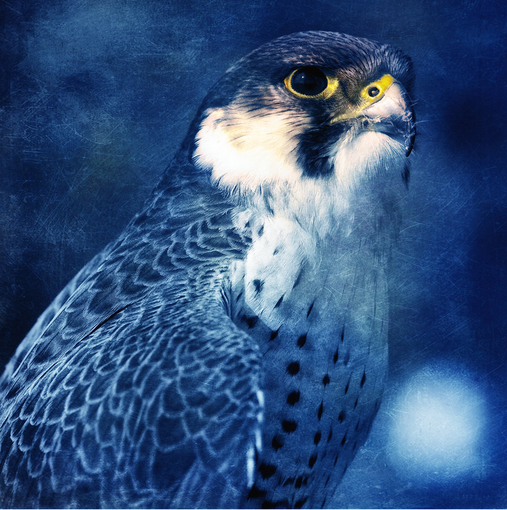 The Blue Falcon | The Peregrine is renowned for its speed ...