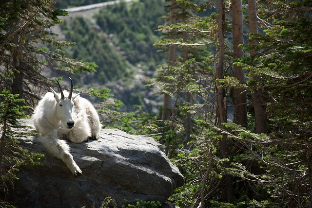 Rocky Mountain Goat sitting on a rock