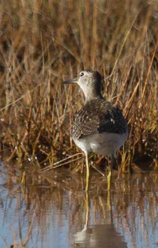 Wood Sandpiper | by jforb