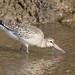 37614 Bar-tailed Godwit at Thornham