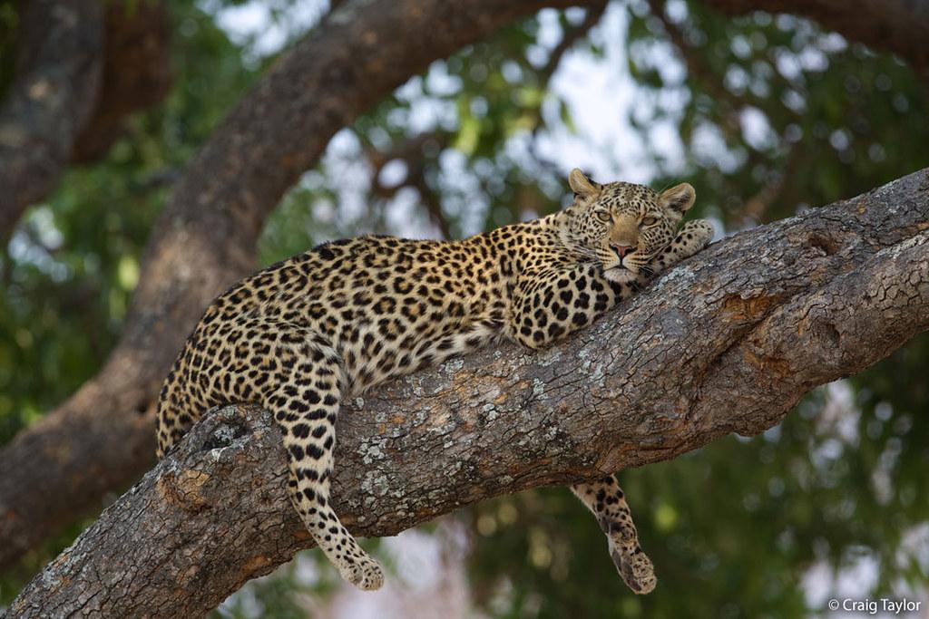 Big Cats Climbing Trees