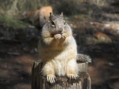 Squirrel, Zion Canyon, Zion National Park, Utah