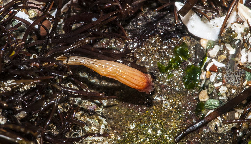 Stalked Sea Squirt (Styela montereyensis) | Tide Pool ...