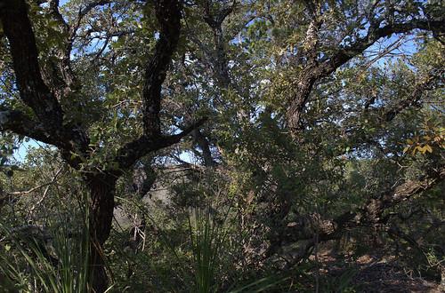 live oak eisenhower park san antonio texas 01 octo flickr. Black Bedroom Furniture Sets. Home Design Ideas