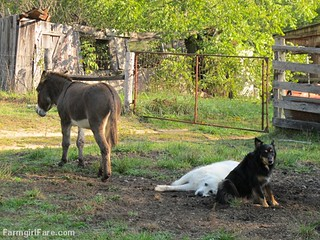 Daisy on donkey guard dog duty (14) - FarmgirlFare.com | by Farmgirl Susan