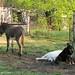 Daisy on donkey guard dog duty (14) - FarmgirlFare.com