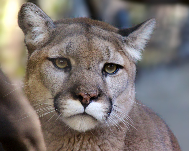 Mountain lion face - photo#11