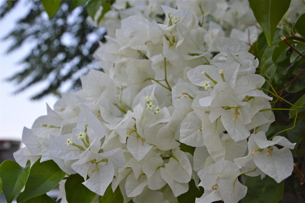 bougainvillea bianca bougainvillea un genere di piante