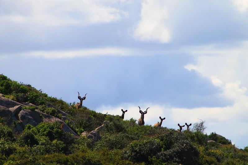 Inquisitive Kudu