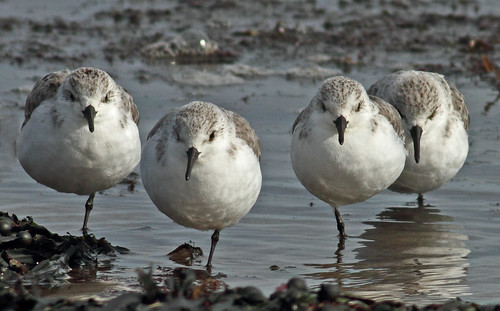 Sanderlings | by prwf44