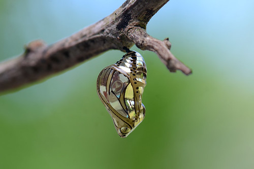 Pupa | by ggallice