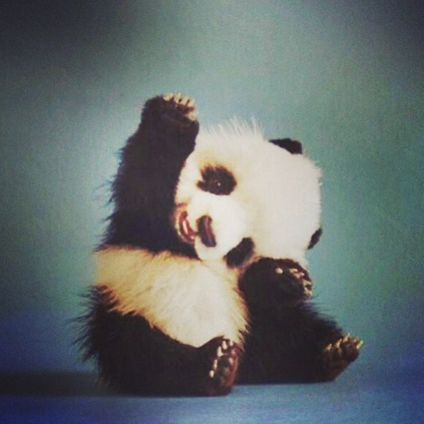 Cute Baby Panda Waving