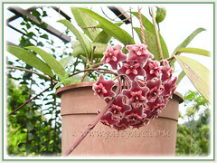 Potted Hoya carnosa 'Red' at our neighbourhood, 9 Nov. 2016