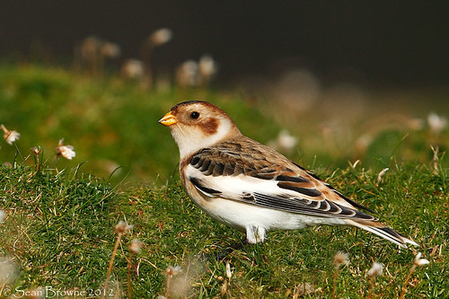 Snow Bunting | by gashuffer