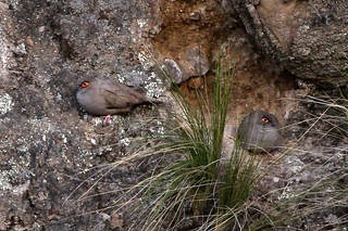 Moreno's Ground-Dove (Metriopelia morenoi) | by sussexbirder