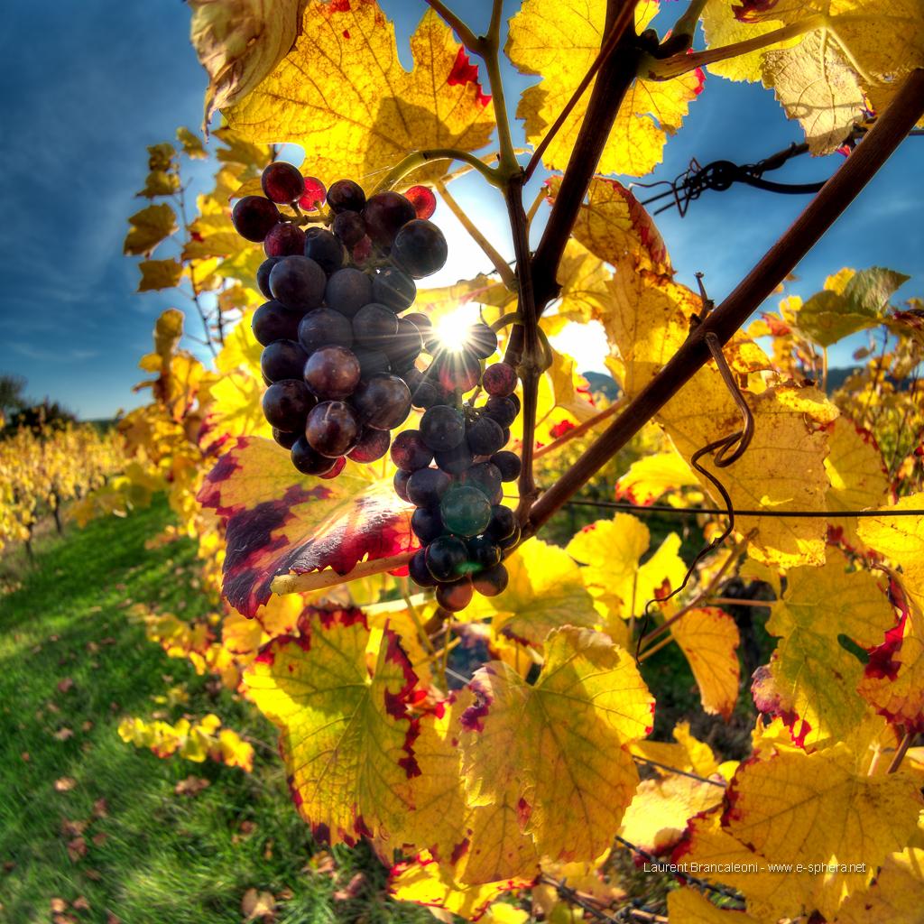 la vigne alsacienne en automne