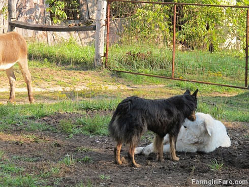 Daisy on donkey guard dog duty (13) - FarmgirlFare.com | by Farmgirl Susan